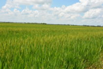 Louisiana Rice: 2017 Acreage Survey Results Available