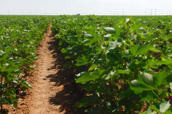 Arkansas Cotton Acreage Likely to Increase in 2016, Experts Say
