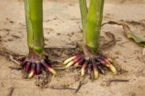 Hormonal Tug-of-War Helps Plant Roots Navigate Their Journey Through the Soil