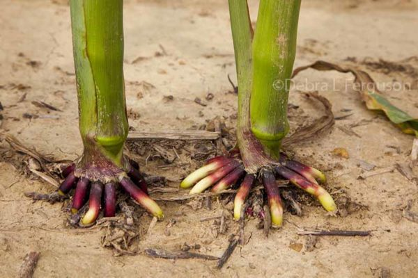 Midwest corn leaves rolling roots challenged dtn agfax midwest corn leaves rolling roots challenged dtn sciox Images