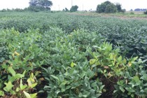 Mississippi Soybeans: OVT Foliar Disease Ratings