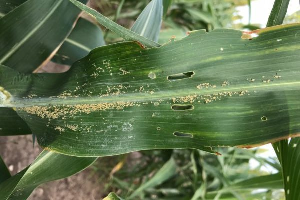 Texas High Plains Pests: Grain Crops Quiet For Now