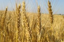 Monsanto's Westbred Brand Releases 10 New Wheat Varieties for 2018