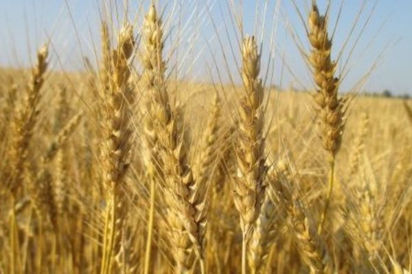 Welch on Wheat: Mixed Market Messages in WASDE