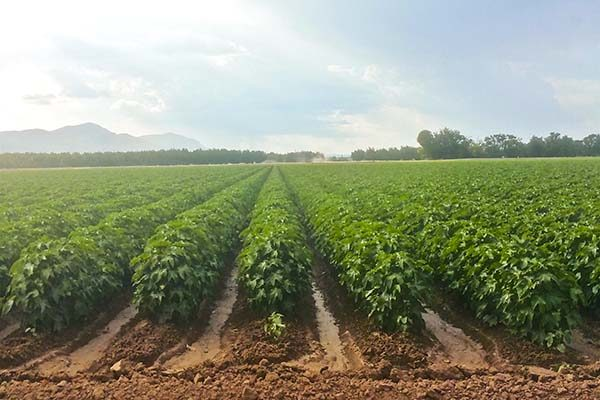 Cleveland on Cotton: World Crop Size; Concerns Over India