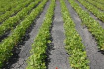 Nebraska Soybeans: Revised Liberty Link Label Allows Rate Increase