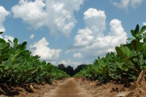 South Carolina Peanuts: Heat Stress, Armyworms, and Escaped Pigweed