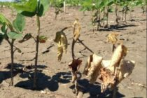 Ohio Soybeans: Distinguishing Between Flood Injury and Seedling, Stem Blight