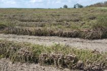 Florida Peanuts: Good, Bad, and Ugly – Local Crop Conditions