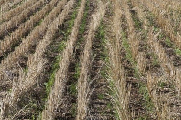 Ohio: Cover Crop Considerations Following Wheat in Grain Rotations
