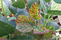Delaware Soybeans: Increasing Reports of Sudden Death Syndrome