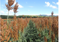Oklahoma Sorghum: Budget Operating Costs for Planting in June