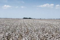North Carolina Cotton: Farm Variety Evaluation Program Results Are In