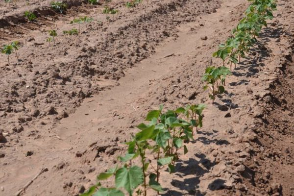 Texas Cotton: How to Address Uneven Emergence