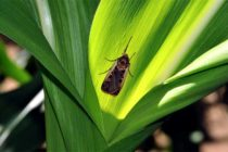 Indiana: Western Bean Cutworm Scouting and Treatment – Video