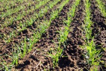 Mississippi Wheat: 6 Things to Consider for 2015 Planting