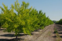 California Almonds: Yellow Trees and Saturated Soils