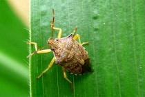 North Carolina Corn: Scouting, Managing Stink Bugs in Seedling Fields