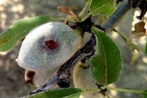 California Almonds: Bacterial Spot Confirmed In Butte County