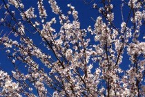 California Almonds: Getting Ready for Bloom