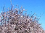California Almonds: Freeze Risk Looms Over 2018 Crop – AgFax
