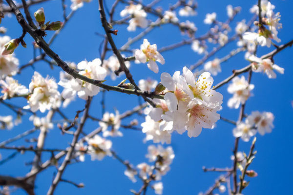 California Almonds: Variety Trial Review Set For June 22, Chico State