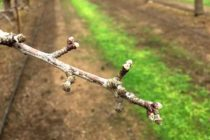 California Almonds: Rain Prompts Rethinking Fungicide Plans – AgFax
