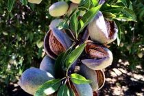 California: Almond Growers Getting Ready for Harvest