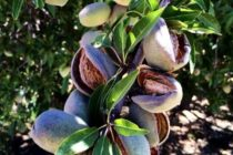 California Almonds: Harvest Starts, Mites Linger – AgFax