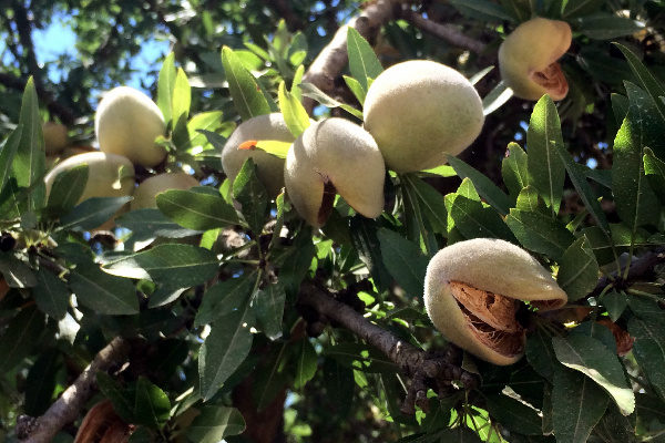 California Almonds: 2017 Crop Projected to Increase 5.1% Over Last Year