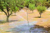 California Walnuts: When Should You Apply the 1st Irrigation of the Season?