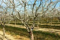 California Almonds: Can Sun Reflecting Products Be Used for Increased Winter Chill?