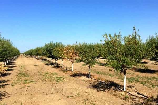 California Almonds: What Caused The Yellowing In Montereys?