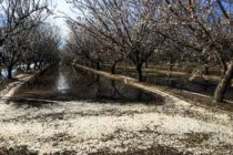 California Almonds: Hints Of Frost, Concerns About Pollination – AgFax Tree Crops