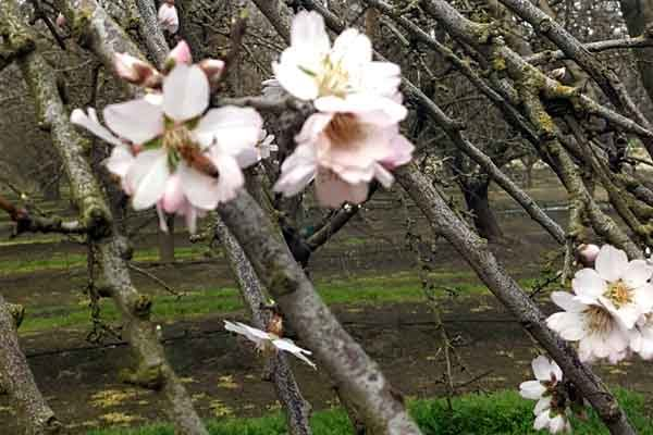 California Almonds: Bloom Review – What Went Right or Wrong in 2017