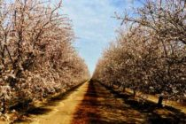 California Almonds: Frost Risk In Forecast – What To Remember