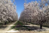 California Almonds: Bacterial Blast Strikes In Places In A Big Way – AgFax