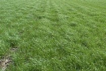 Kentucky: Avoid Making Cover Crops a Pest