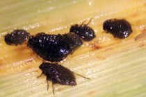 South Carolina Wheat: New Aphid Pest, Be On The Lookout