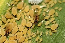 Texas – LRGV:  Sugarcane Aphid In Sorghum; Boll Weevils, Thrips, Aphids in Cotton