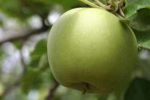 Apples: Disease Resistant Varieties Expected to Become More Popular