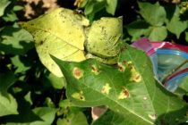 Tennessee Cotton: Don't Let Bacterial Blight Fool You
