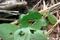 Delaware Soybeans: Early Season Pests to Watch For