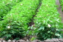 Texas Cotton: LRGV Crop Looks Clean, Keep Watch for Pests