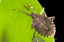 Virginia Soybeans: More Brown Marmorated Stink Bugs Turning Up