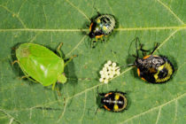 North Carolina Soybeans: Treating Stink Bugs in Late Fields