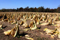 Tobacco: Flue-Cured and Burley Projections Keep Dropping