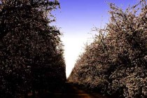 California Almonds: Flash Boom? It Sure Came Fast. – AgFax