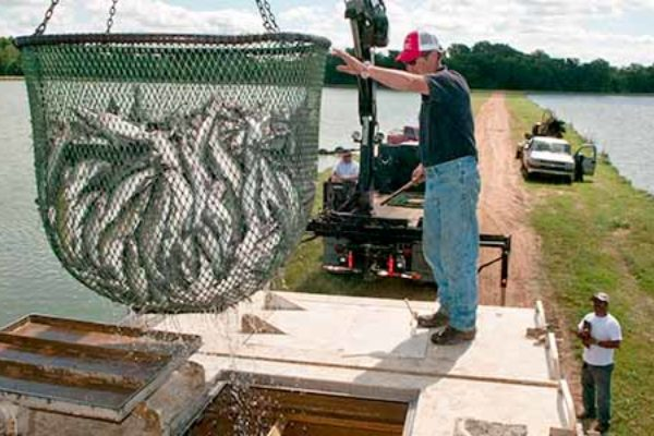Texas Field Reports: Catfish Production Down but Producers Faring Well
