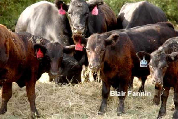 DTN Livestock Close: Additional Selling Pressure Sweeps Through